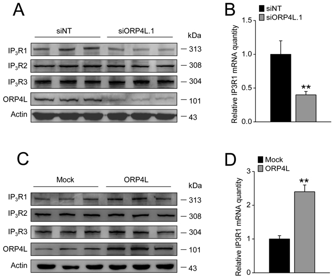 ORP4L maintains stable expression of IP3R1 both at protein and mRNA level.