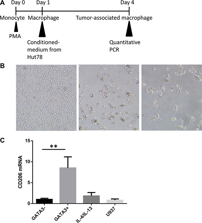 T lymphoma cells promote M2-type macrophage differentiation through a GATA3-dependent mechanism.
