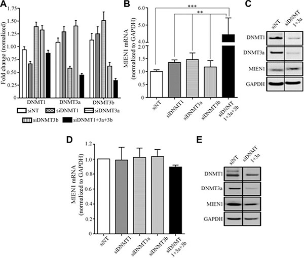 MIEN1 expression upon knockdown of DNA methyltransferases in PWR-1E.