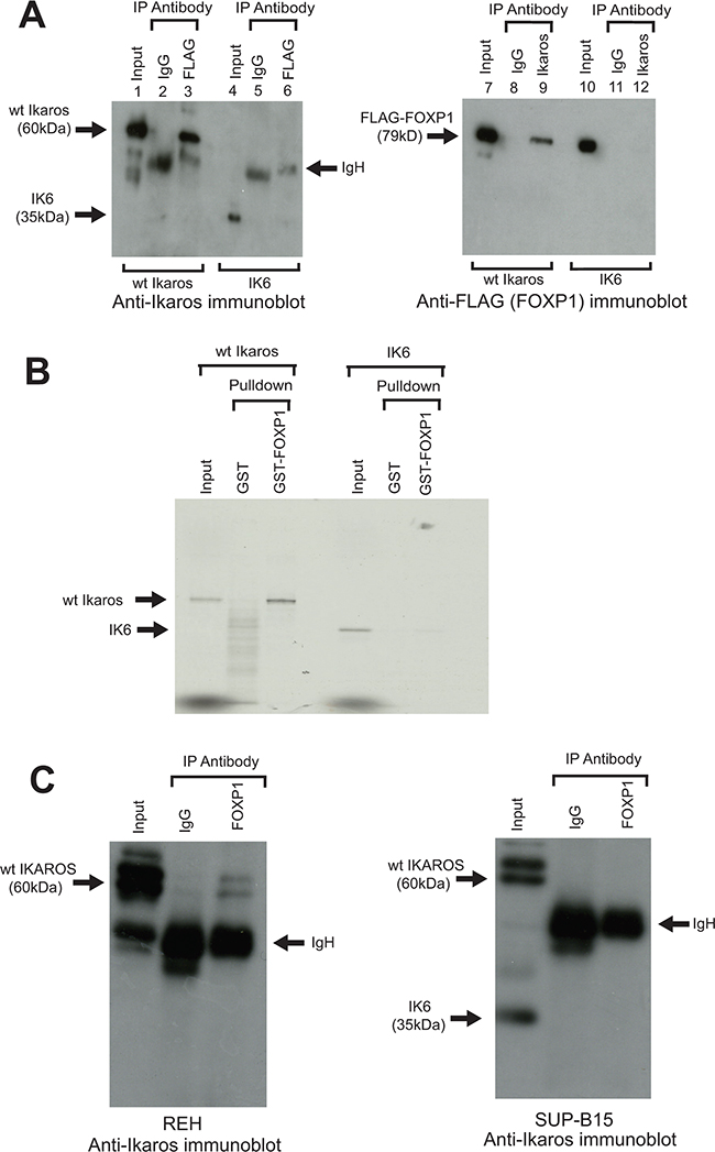 Interaction of human Ikaros and FOXP1 in B-ALL cells and effect of the IK6 deletion.
