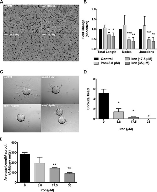 Cell-permeable iron inhibits endothelial tube formation and sprouting.