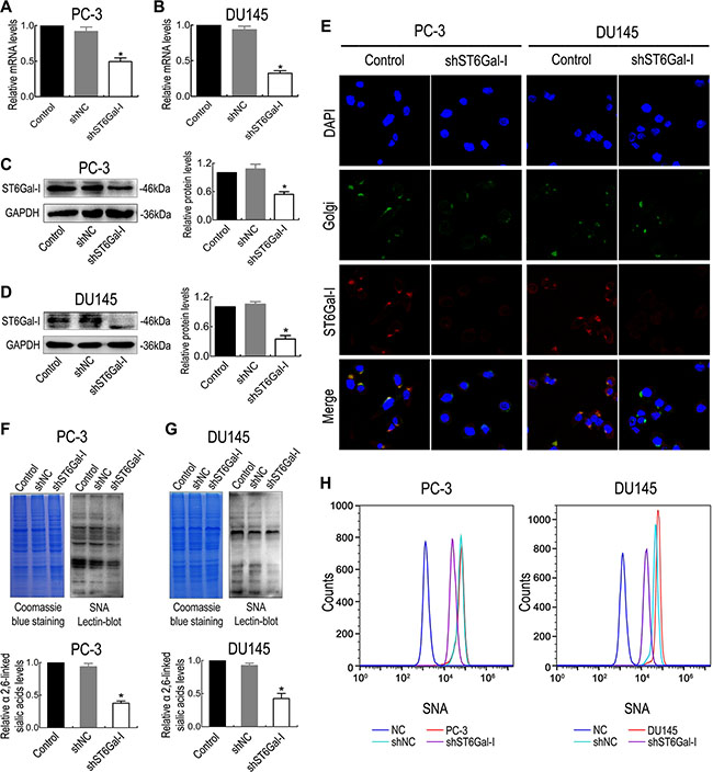 The shRNA interference vector effectively silenced ST6Gal-I expression in PC-3 and DU145 cells.