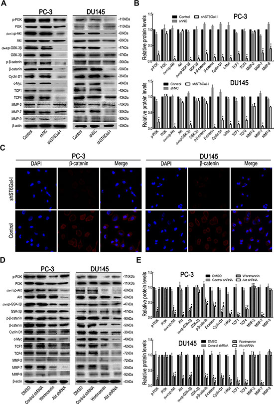 Silencing ST6Gal-I inhibited PI3K/Akt/GSK-3β/β-catenin signaling in PC-3 and DU145 cells.