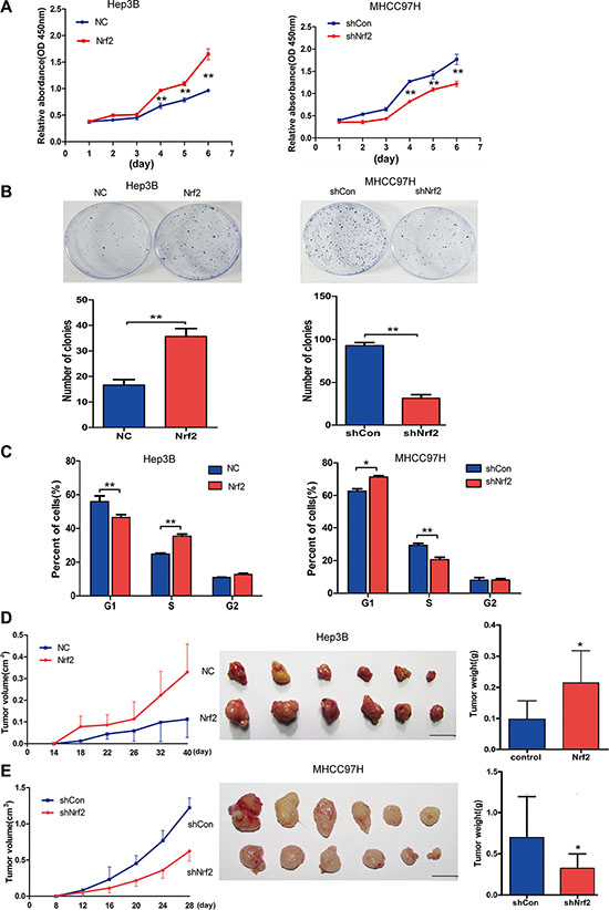 Nrf2 promotes HCC cell proliferation by up-regulating cell cycle progression both in vitro and in vivo.