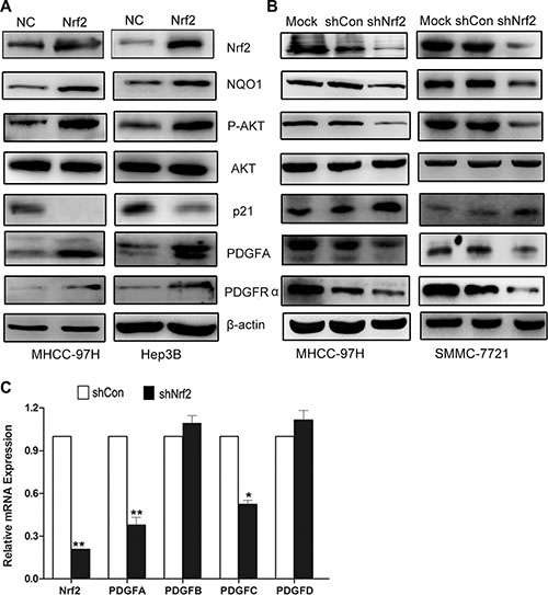 Nrf2 possibly modulates cell cycle progression by upregulating PDGFA and activation of AKT/p21 pathway.