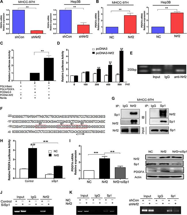 Nrf2 enhances the mRNA transcription of PDGFA by binding to PDGFA promoter via Sp1.