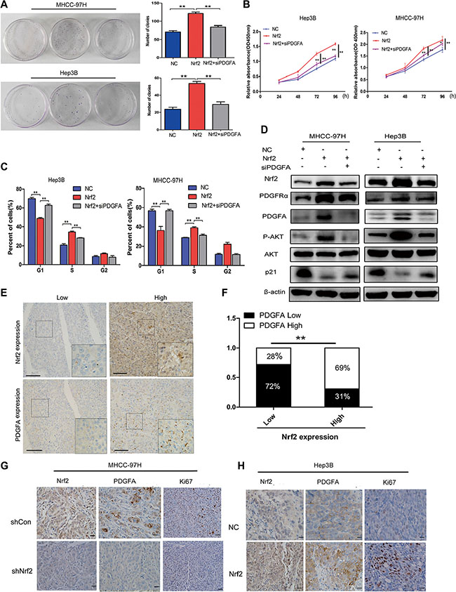 The tumor-promoting effect of Nrf2 is dependent on PDGFA.