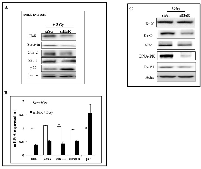 Modulation of HuR targets and DNA repair proteins upon siHuR and radiation treatment.