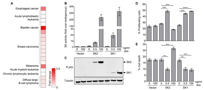 Low-level SK2 overexpression is observed in human cancers, and can promote cell survival and proliferation.
