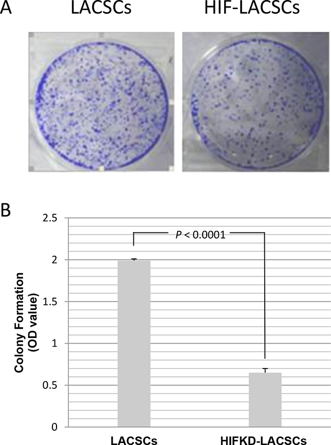 Growth of LACSCs and HIF1α-KD induced cells as measured by colony formation assay.