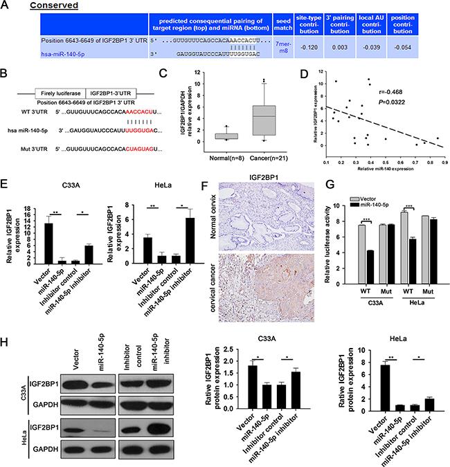miR-140-5p directly targets IGF2BP1 in CC cells.