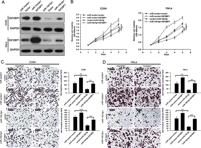 IGF2BP1 is involved in miR-140-5p-induced proliferation, migration and invasion inhibition in C33A and HeLa cells.