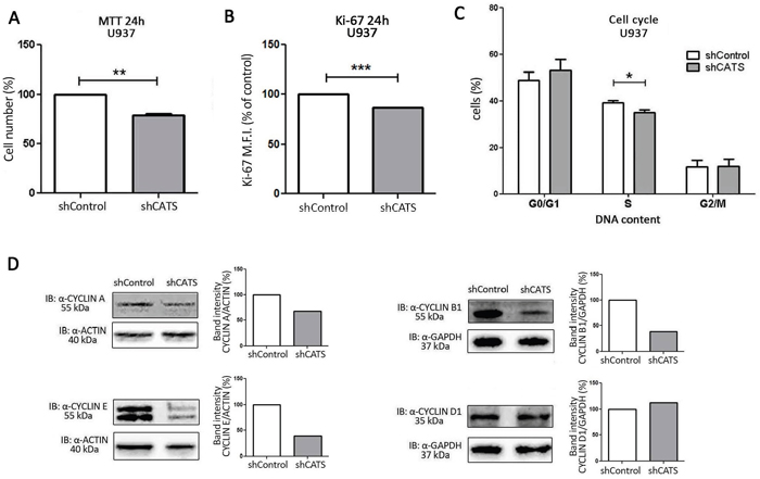 CATS knockdown reduces proliferation of U937 cells in vitro.