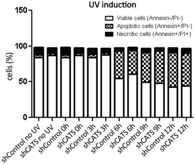 CATS knockdown does not alter cell death rate upon UV irradiation.