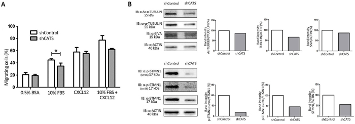 CATS knockdown reduced U937 cell migration towards serum containing media.