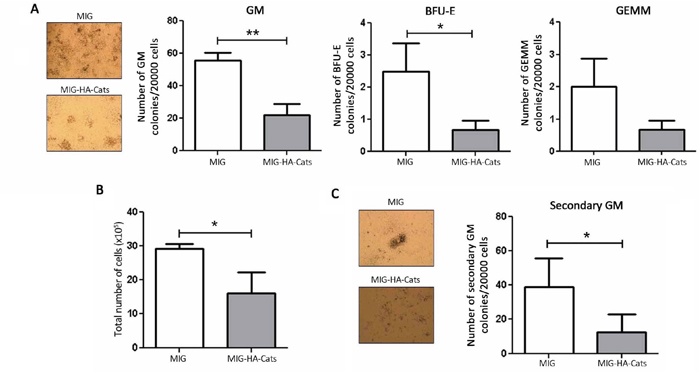 Cats overexpression reduces the number of colony formation and total cell number of primary bone marrow progenitor cells.