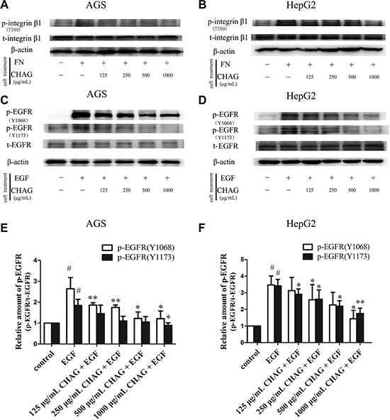 CHAG inhibits activation of membrane receptors in gastric and hepatic cancer cells.
