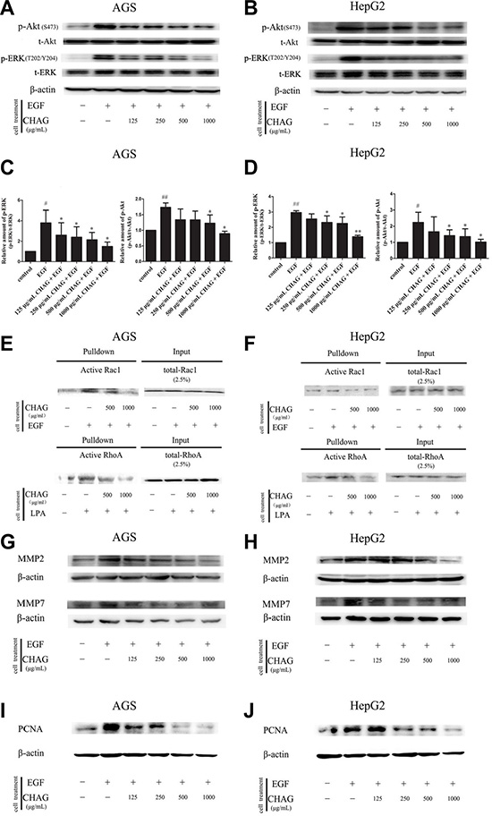 CHAG blocks the activation of downstream signaling molecules of EGFR and inhibits EGF- induced expression of MMPs and PCNA.