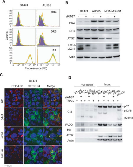 Inhibition of basal autophagy upregulates surface expression of death receptors (DRs) 4 and 5.