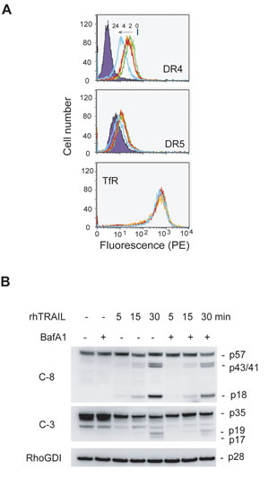 Inhibition of lysosomal activity downregulates DR4 and DR5 from the surface of MDA-MB-231 cells.