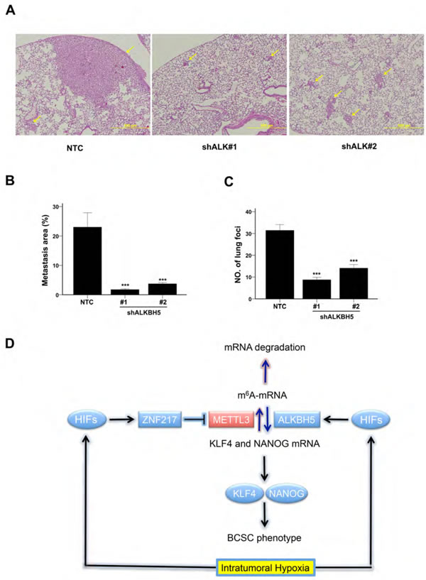 ALKBH5 is required for breast cancer tumorigenicity and metastasis.