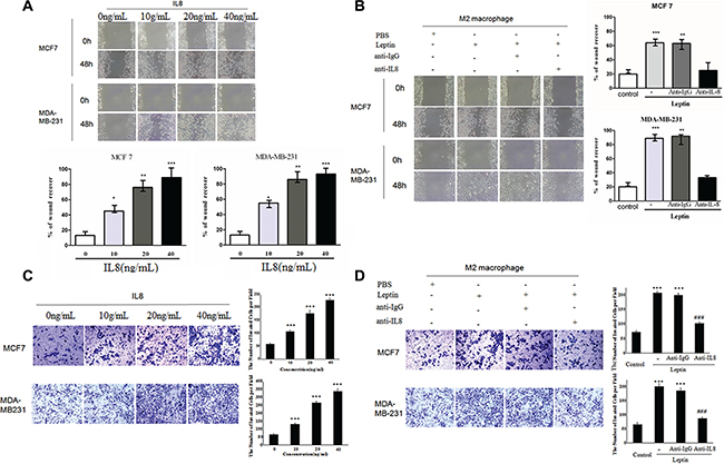 Recombinant IL-8 and IL-8 from leptin-treated M2 macrophages stimulated the migration and invasion of breast cancer cells MCF7 and MDA-MB-231.