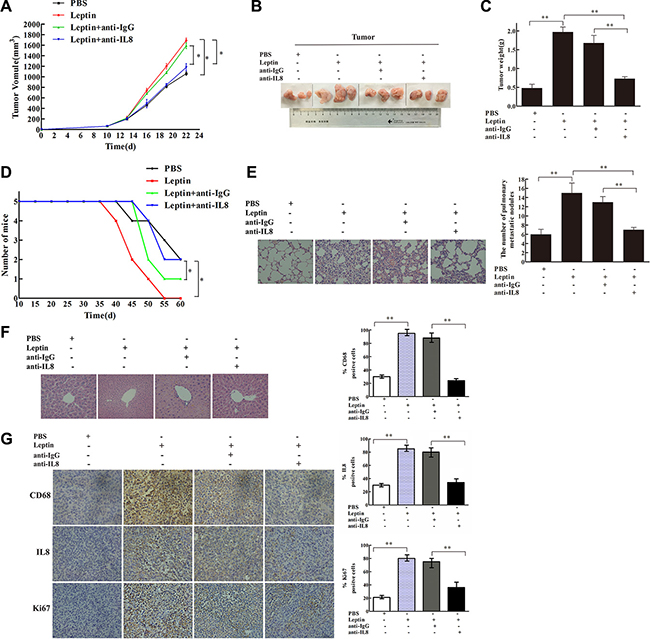 IL-8 neutralization blocked leptin-mediated stimulation of breast cancer growth and metastasis in mouse xenograft model.