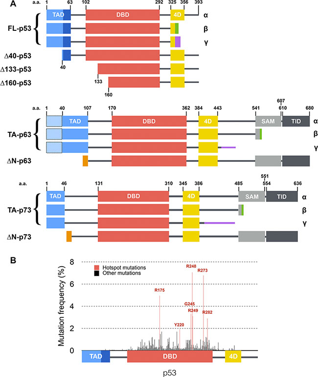 Structure of p53 family isoforms and distribution of mutations within p53.