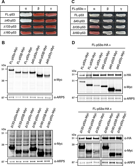 Transcriptional activity and dominant-negative effect of p53 main isoforms in FASAY-RGC strain.