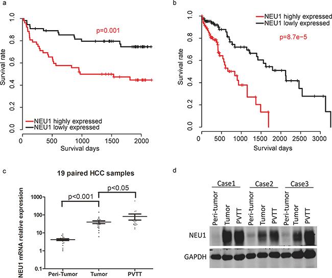 The prognostic effect of NEU1 in HCC.