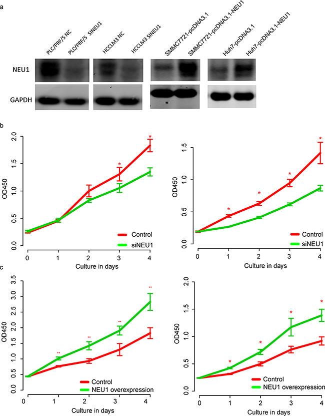 The proliferation promoting effect of NEU1.