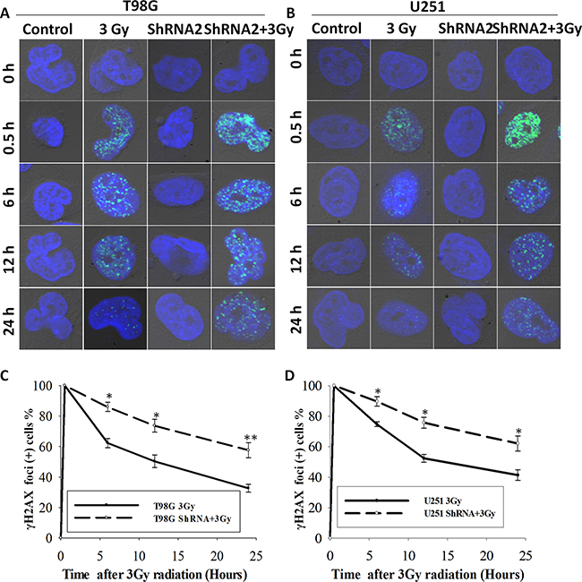c-Fos knockdown delayed DNA damage repair in T98G and U251 cell line.