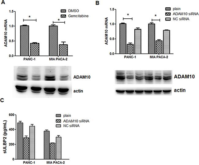 Gemcitabine-mediated shedding of ULBP2 is ADAM10-dependent.