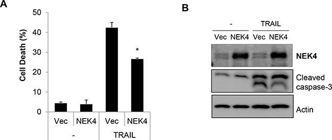 Overexpression of NEK4 suppresses TRAIL-induced cell death.