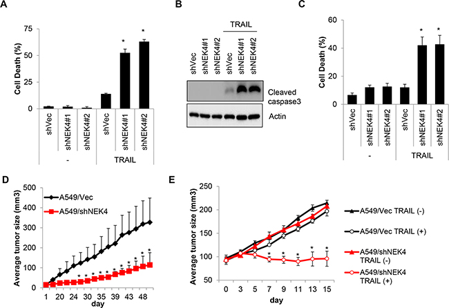 Loss of NEK4 increases TRAIL-induced cell death and inhibits tumorigenesis in a xenograft model.
