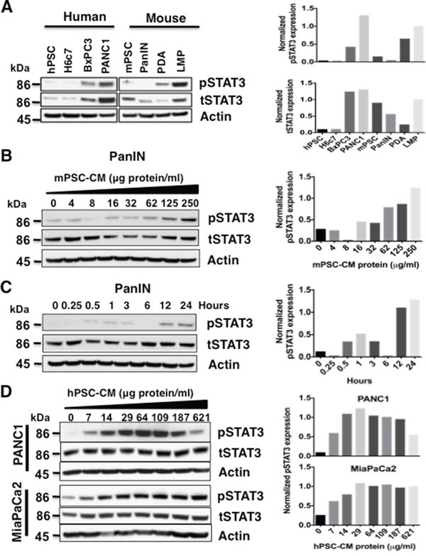 Pancreatic stellate cell (PSC) conditioned media (CM) activates STAT3.