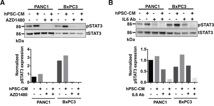 Pharmacological inhibition of JAK/STAT3 signaling or blocking IL-6 inhibits phosphorylation of STAT3 in hPSC-CM protein PDAC treated cells.