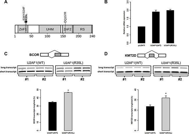 Mutation p.R35L in U2AF1 alters pre-mRNA splicing in human T-cells.