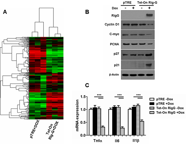 Rig-G inhibits specific growth pathways and inflammatory responses in tumor cells.