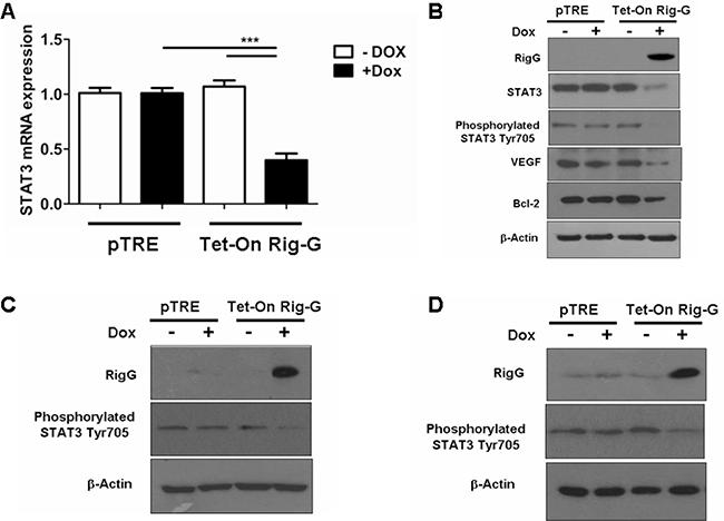Rig-G inhibits STAT3 activity.