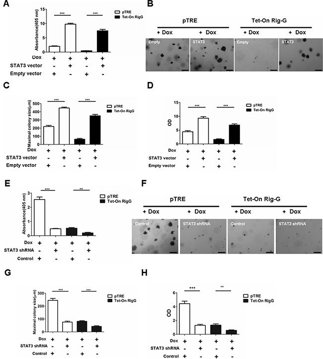 STAT3 inhibition is required for Rig-G decreasing lung cancer growth.