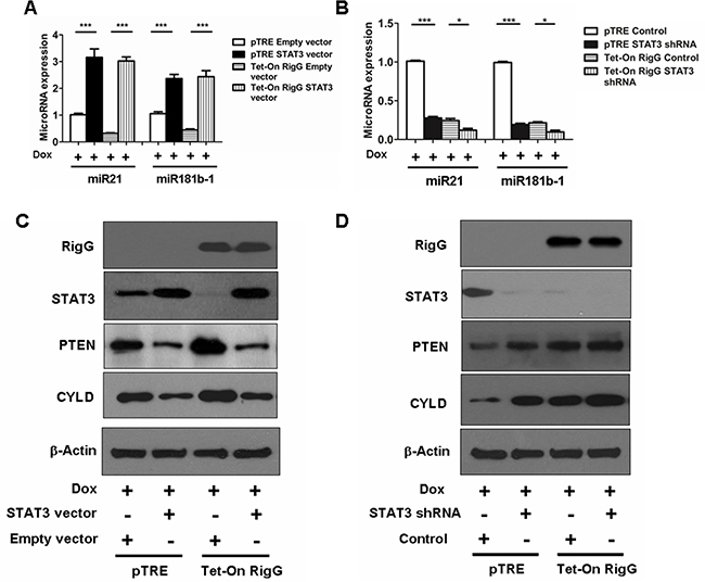 Rig-G downregulates MiR21/PTEN and miR181b-1/CYLD pathways through STAT3.
