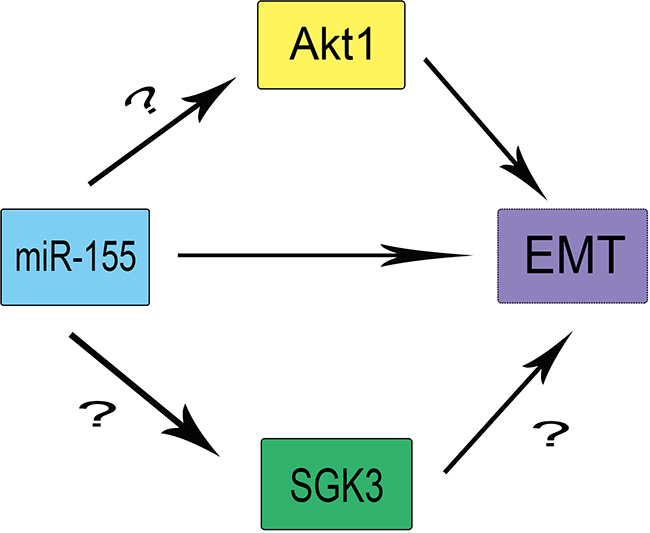 The theoretical roles and regulation of SGK3, miR-155, and Akt1 in EMT.