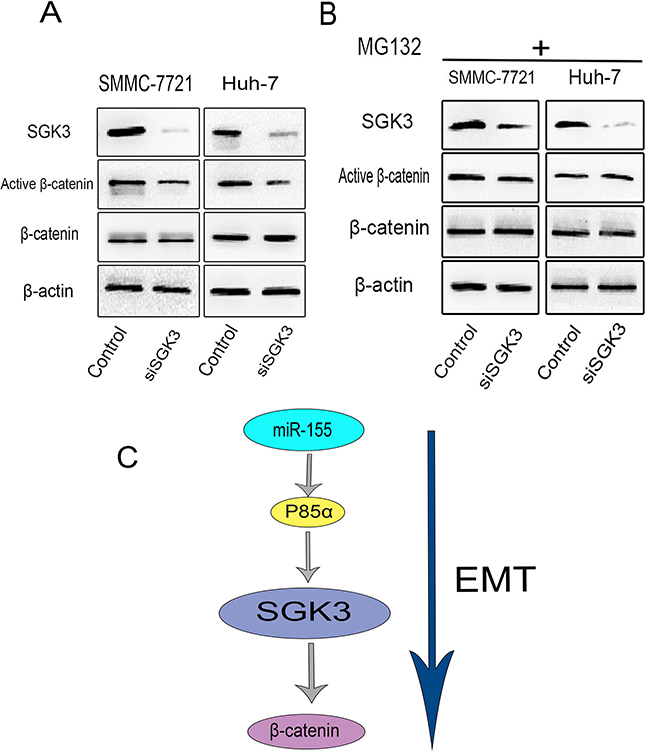 SGK3 regulates β-catenin signaling in HCC cells.