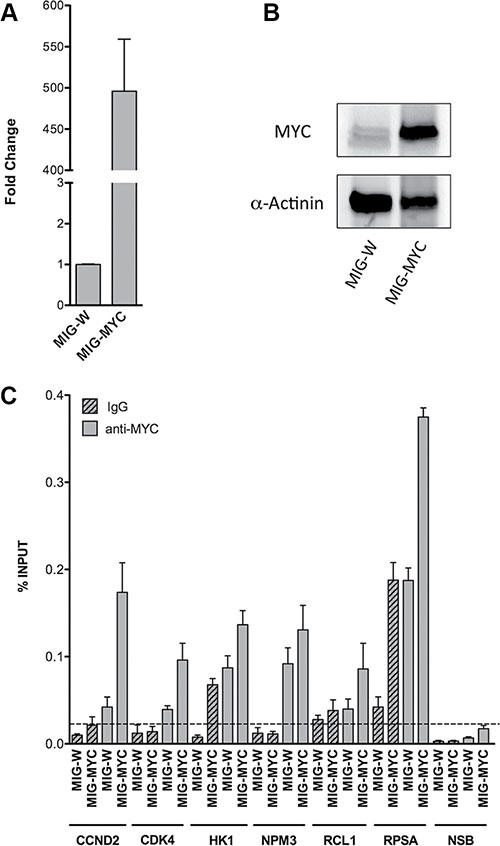 c-Myc over-expression and occupancy in HEK293T cells.