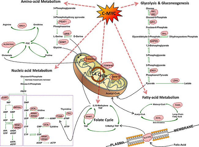 Summary of c-Myc regulated cell metabolism genes in PLAC.