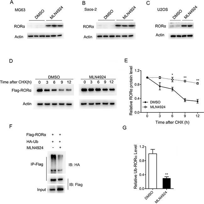 MLN4924 increases the stability of RORα.