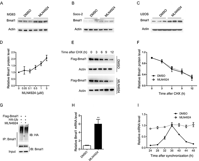 MLN4924 increases Bmal1 at the transcriptional level.