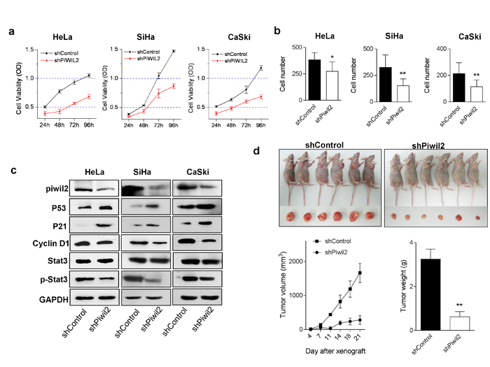 Piwil2 knockdown affects cervical cancer cell line proliferation, invasion, and