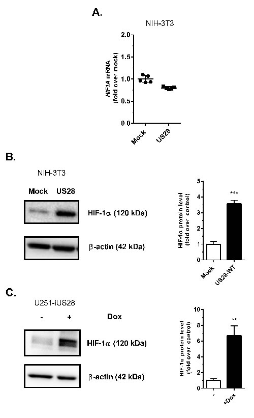 US28 constitutively induces the transcriptional activity of the HIF-1 complex by increasing the HIF-1α protein level.